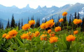 """Siberian flowers named in Siberia """"Zharki"""" are seen with mountains in the background in Western Saya.."""